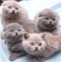 ...частное лицо: Кошки.  Украина, Одесса и область.  Шотландские котята...